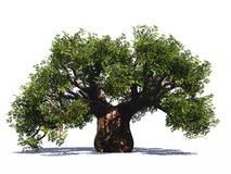 Huge baobab tree isolated Stock Image