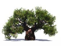 Huge Baobab Tree Isolated Stock Image