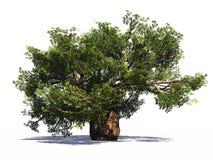 Huge baobab tree isolated Royalty Free Stock Images