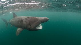 Basking Shark. Huge Basking Shark off the Isle of Coll, Scotland Royalty Free Stock Photos