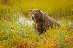 Huge bear in Brooks camp in Alaska. Huge brown bear in Brooks camp in Katmai national park in Alaska looking at us without any interest, fall season dventure in stock photos
