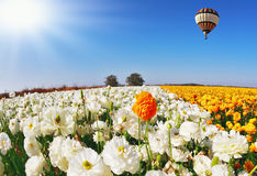 Huge beautiful balloon flies over the field Royalty Free Stock Photos