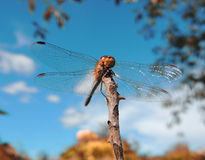 A huge beautiful dragonfly (flying adder) on thin branch royalty free stock photos