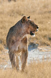 Huge and beautiful lioness Stock Images