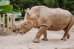 Huge beautiful rhinoceros Royalty Free Stock Photography