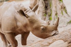 Huge beautiful rhinoceros Stock Photos