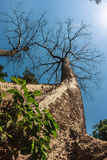 Huge beautiful kapok tree at Ta Prohm, ancient khmer Buddhist temple in Siem Reap, Cambodia Royalty Free Stock Image