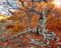 Huge beech in the autumn forest Royalty Free Stock Photo
