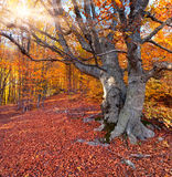 Huge beech in autumn forest Royalty Free Stock Image