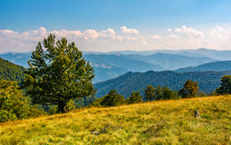 Huge beech on the edge of a grassy hillside. Beautiful early autumn scenery view to faraway mountain ridges Stock Photography