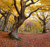Huge beech in the forest. Huge beech in the colorful autumn forest Stock Photo