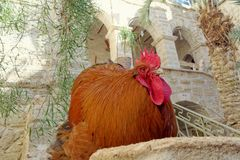 Huge beefy cock copper color with a bright red crest and beard sitting in a stone pillar. The rooster looks with a haughty glance at the people from the top Stock Images