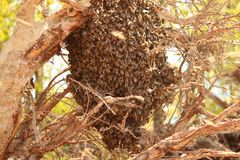 Huge beeswarm. On a branch Stock Image