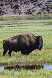 Bison along the Yellowstone River in Wyoming USA royalty free stock image