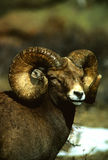 Huge Bighorn Sheep Ram Stock Photos