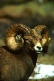 Huge Bighorn Sheep Ram Stock Photos