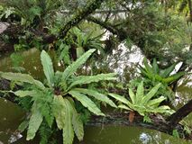 Huge bird's nest ferns Royalty Free Stock Images