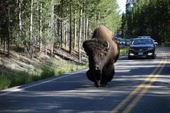 A huge bison delaying traffic Royalty Free Stock Photos