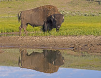 Huge Bison with water reflection in Yellowstone National Pak. Stock Photo