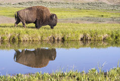 Huge Bison with water reflection in Yellowstone National Pak. Water reflection of male Bison in clear pond Stock Images
