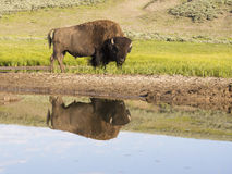 Huge Bison with water reflection in Yellowstone National Pak. Stock Images