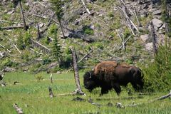 The Huge Bison at Yellowstone National Park Royalty Free Stock Photo