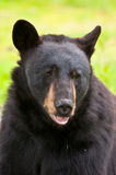 Huge black bear Stock Photo