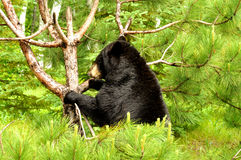 A huge Black Bear paws at a small tree. Stock Photos
