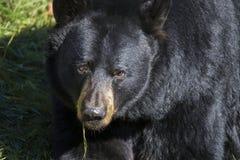Huge Black bear portrait Stock Photos