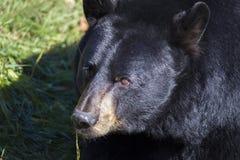 Huge Black bear portrait Royalty Free Stock Photography