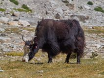 Huge black Tibetan yak with long hairy wool grazing on a high mountain meadow pasture, the Himalayas, Tibet. Royalty Free Stock Images