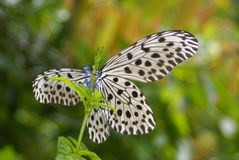 Huge, black and white butterfly Royalty Free Stock Photos