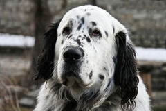 Huge black and white dotted dog head Royalty Free Stock Photography
