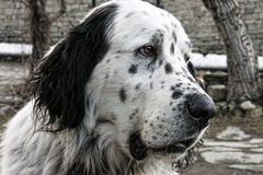 A huge black and white dotted dog head of Pyrenees Royalty Free Stock Photography