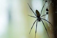 Huge Black Widow Spider Stock Image