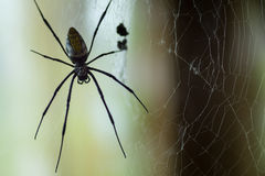 Huge Black Widow Spider. Waiting for it`s dinner in it`s web high up in the dark, in a compound designed for spiders in London, UK Royalty Free Stock Photography