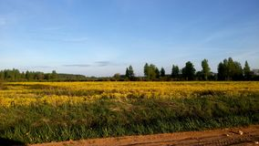 Huge blooming field in Central Russia Smolensk region. Sunny day. No people royalty free stock images