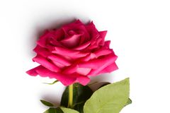 Romantic pink rose with big blossom. Huge blossom and green leaves of pink beautiful rose,on white background, isolated Stock Photography