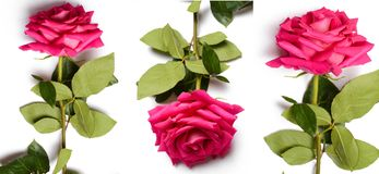 Romantic pink rose with big blossom. Huge blossom and green leaves of pink beautiful rose,on white background, isolated Royalty Free Stock Images