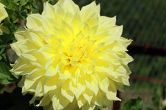 A huge blossoming flower of Dahlia in the garden. Huge gentle yellow flower of Dahlia Stock Image