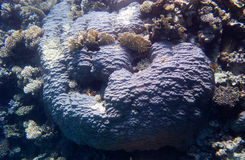Huge blue Egyptian coral. Huge blue coral in the Three Pools, Dahab, Egypt royalty free stock photography