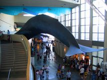 A huge blue whale display inside the main complex. Aquarium of the Pacific, Long Beach, California, USA. A huge blue whale display inside the main activity royalty free stock images