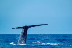 Huge blue whale at Pico Island royalty free stock images
