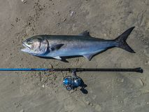 Huge bluefish Royalty Free Stock Photography