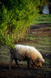 A huge boar of the breed Hungarian mangalitsa. Cuts off young leaves from the bush in early spring royalty free stock photography