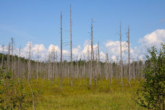 Huge bog in a forest with dead birches. The picture of Karelian forest and flowing river stock images