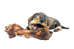 Huge bone and Dachshund puppy. Stock Photography