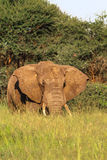 Huge boss. Red elephant from Tarangire. Stock Photo