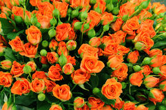 Huge bouquet of blooming roses. And unopened buds Royalty Free Stock Photo