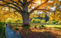 A huge branched oak tree. With autumn golden foliage in the rays of the setting sun behind the fence Stock Photography